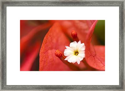 Macro Bougainvillea Bloom 1 Framed Print