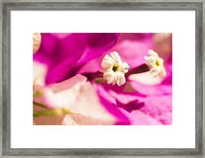 Macro Bougainvillea Bloom 2 Framed Print