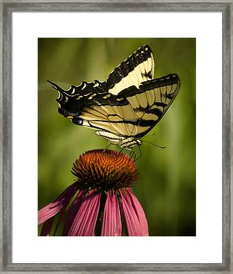 Macro Butterfly Framed Print by Jack Zulli