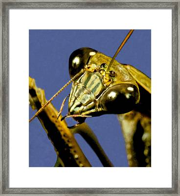 Macro Closeup Of The Chinese Praying Mantis Cleaning Himself After Eating A Live Cricket Framed Print
