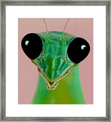 Macro Closeup Of The Female Chinese Mantis Framed Print