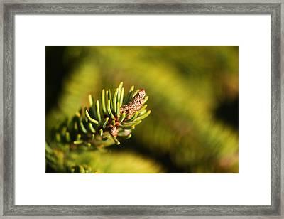 Macro Of An Evergreen Framed Print