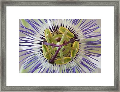 Macro Of Top View Of Passion Flower Framed Print by Jaynes Gallery