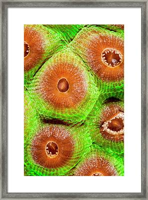 Macro Photo Of Coral Polyps Framed Print by James White
