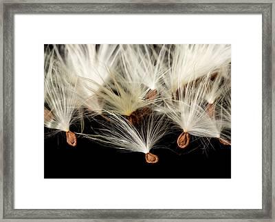 Macro Photo Of Swamp Milkweed Seed Pod Framed Print by Steve Heap