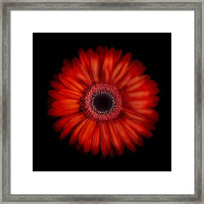 Macro Photograph Of An Red And Orange Gerbera Daisy Against A Black Background Framed Print