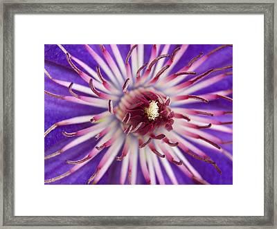 Macro Purple Clematis Framed Print by Corinne Elizabeth Cowherd