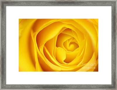 Macro Yellow Rose Framed Print by Patrick Dinneen