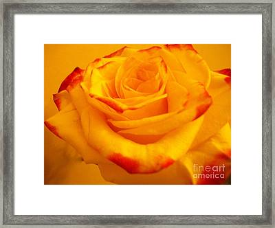 Macro Yellow Rose With Red Framed Print by Marsha Heiken