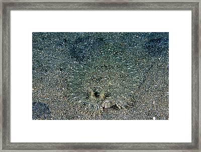 Maculated Flounder Framed Print
