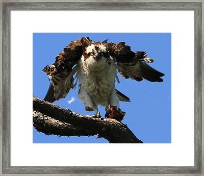 Mad Osprey Framed Print