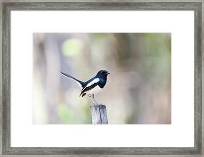 Madagascan Magpie-robin Male Framed Print