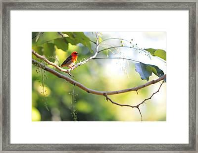 Madagascar Fody Aka Red Cardinal Fody Framed Print