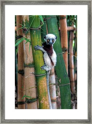 Madagascar Sifaka Baby Lemur Framed Print by Mariusz Kluzniak