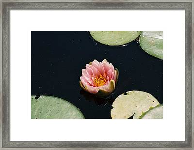 Framed Print featuring the photograph Madam Wilfron Gonnere Aka. Water Lily by Ramona Whiteaker
