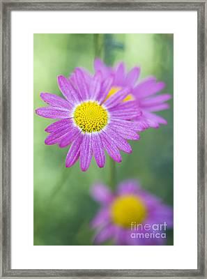 Madeira Deep Pink Daisy Framed Print by Tim Gainey