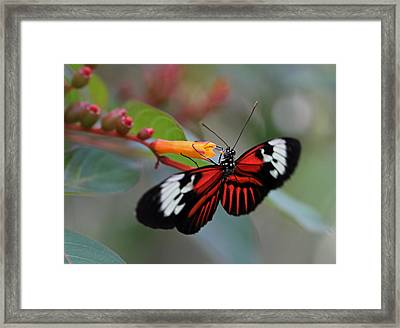 Madiera Butterfly Framed Print by Juergen Roth