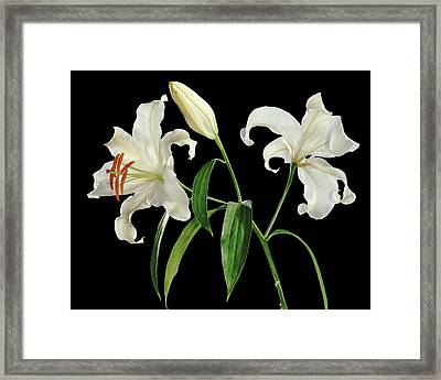 Madonna Lily (lilium Candidum) Framed Print