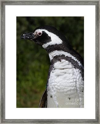 Magellanic Penguin 7d9070 Framed Print