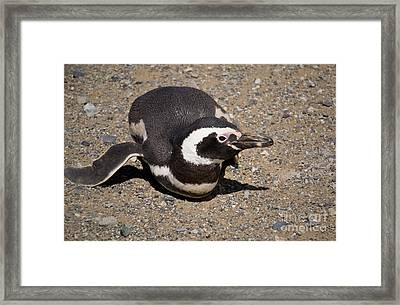 Magellanic Penguin On Its Belly Framed Print