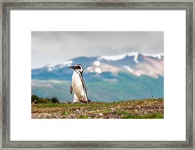 Magellanic Penguin (spheniscus Framed Print by James White