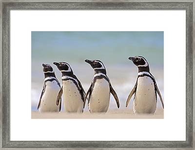Magellanic Penguins Carcass Island Framed Print
