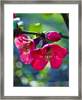 Magenta Blooms Framed Print