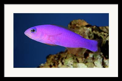 Highly Colored Fish Framed Prints