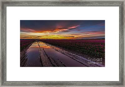 Magenta Fields Tulips Framed Print