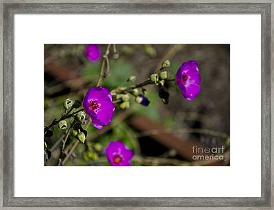 Magenta Flowers Framed Print by Aaron Fromenthal