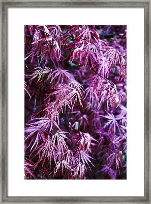 Magenta Japanese Maple Framed Print by Anthony Ackerman
