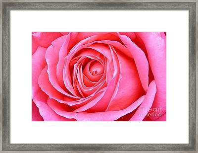 Magenta Rose Framed Print