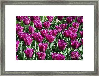 Framed Print featuring the photograph Magenta Tulips by Allen Beatty
