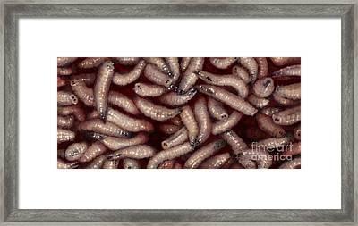 Maggots Framed Print