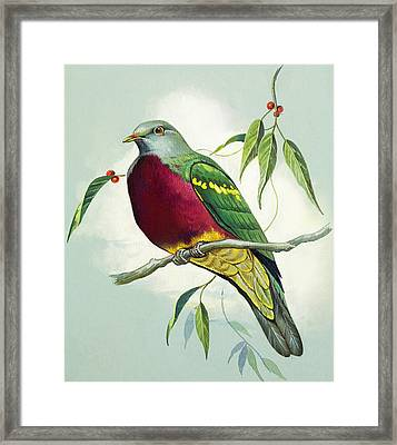 Magnificent Fruit Pigeon Framed Print by Bert Illoss