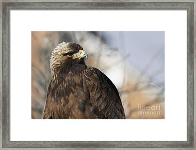 Magnificent Golden Eagle Hunting For Prey Framed Print