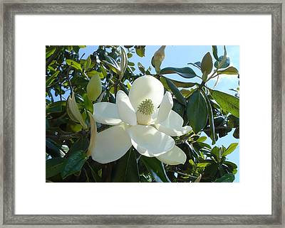Framed Print featuring the photograph Magnificent Magnolia by June Holwell