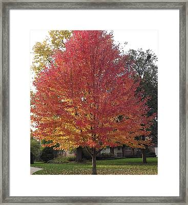 Framed Print featuring the photograph Magnificent Maple by Bill Woodstock