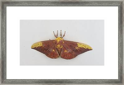Magnificent Moth Framed Print by Fortunate Findings Shirley Dickerson