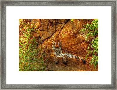 Magnificent Tiger Resting Framed Print