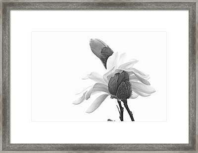 Magnolia Bloom 1 Framed Print