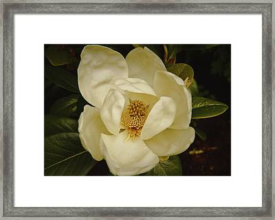 Framed Print featuring the photograph Magnolia Bloom by Debra Crank