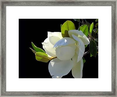 Magnolia Blossom Framed Print by Ginny Schmidt