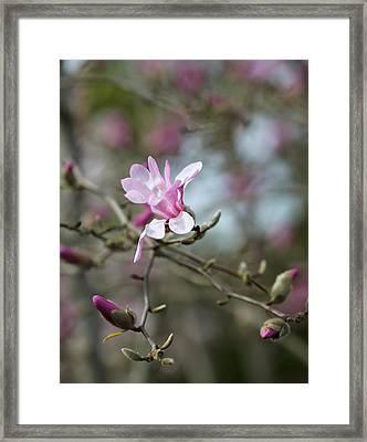 Magnolia Blossom In Tree 3 Framed Print by Rebecca Cozart
