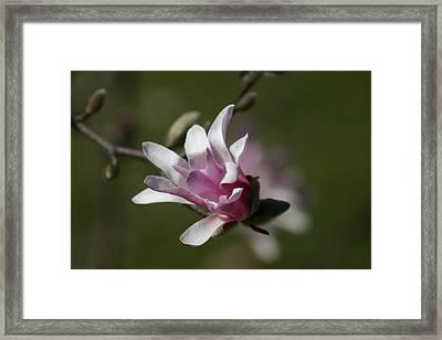 Magnolia Blossom Series 701 Framed Print