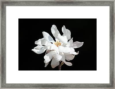 Magnolia Blossom Framed Print by Trina  Ansel