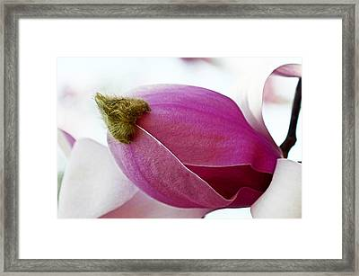 Magnolia Blossom With Cap Framed Print by Lisa Phillips