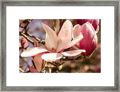 Magnolia Blossoms Framed Print by Cathy Donohoue