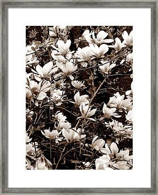 'magnolia Blossoms' Framed Print