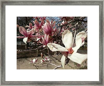 Framed Print featuring the photograph Magnolia Branches by Caryl J Bohn